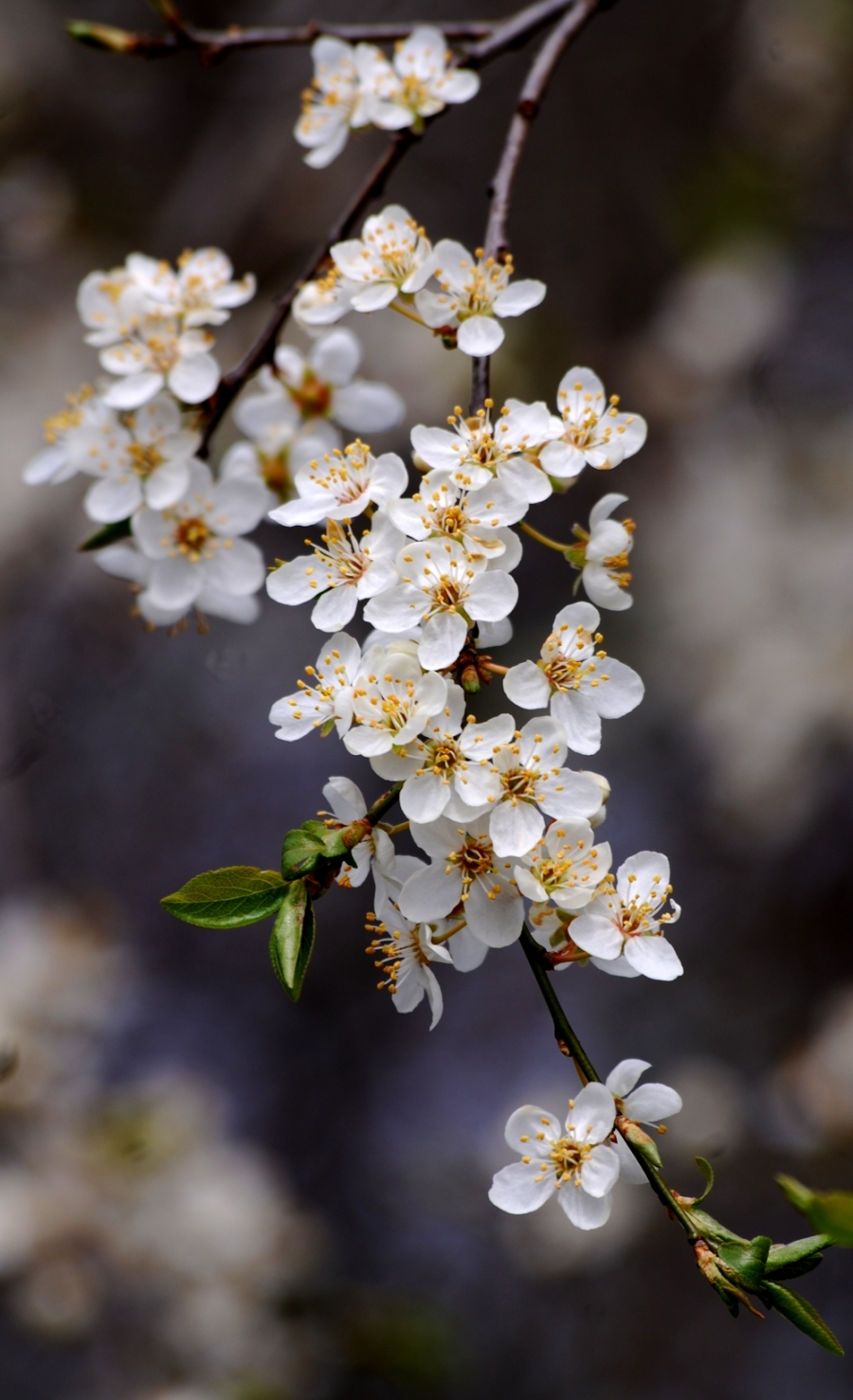 A beautiful spray of sloe (blackthorn) blossom.