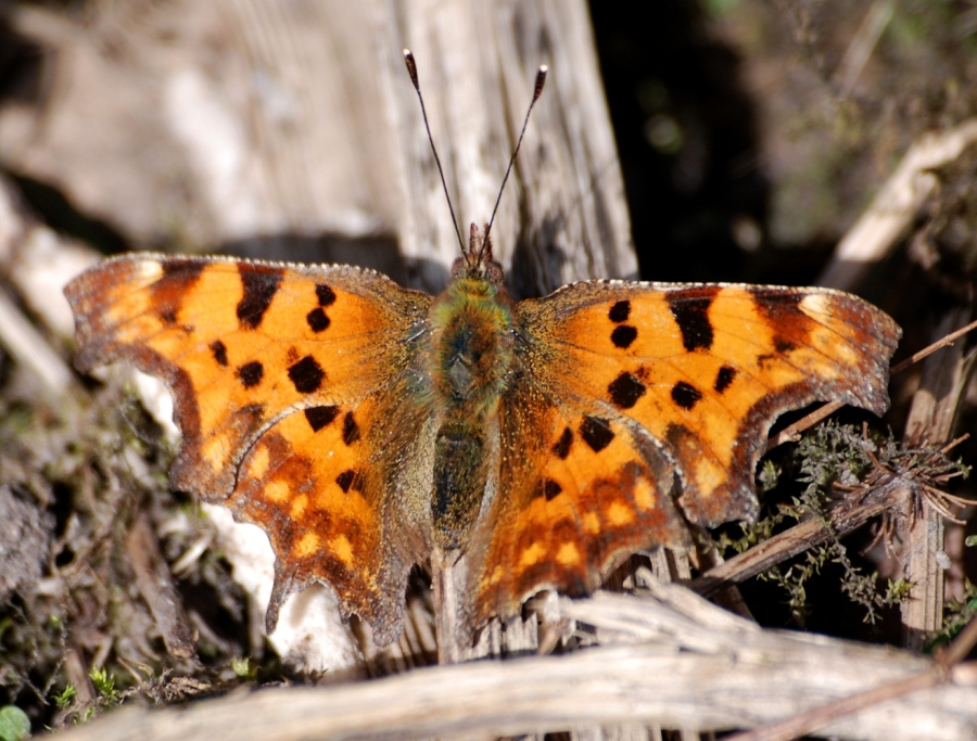 A small comma butterfly