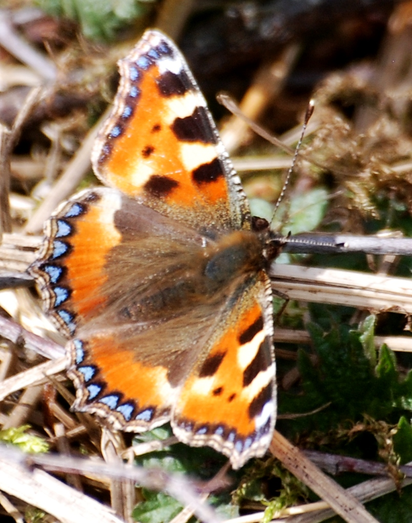 Butterflies have begun to appear, even in the high wind. Small Tortoiseshell.