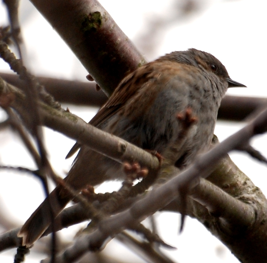 Sparrow. Not as common as they used to be
