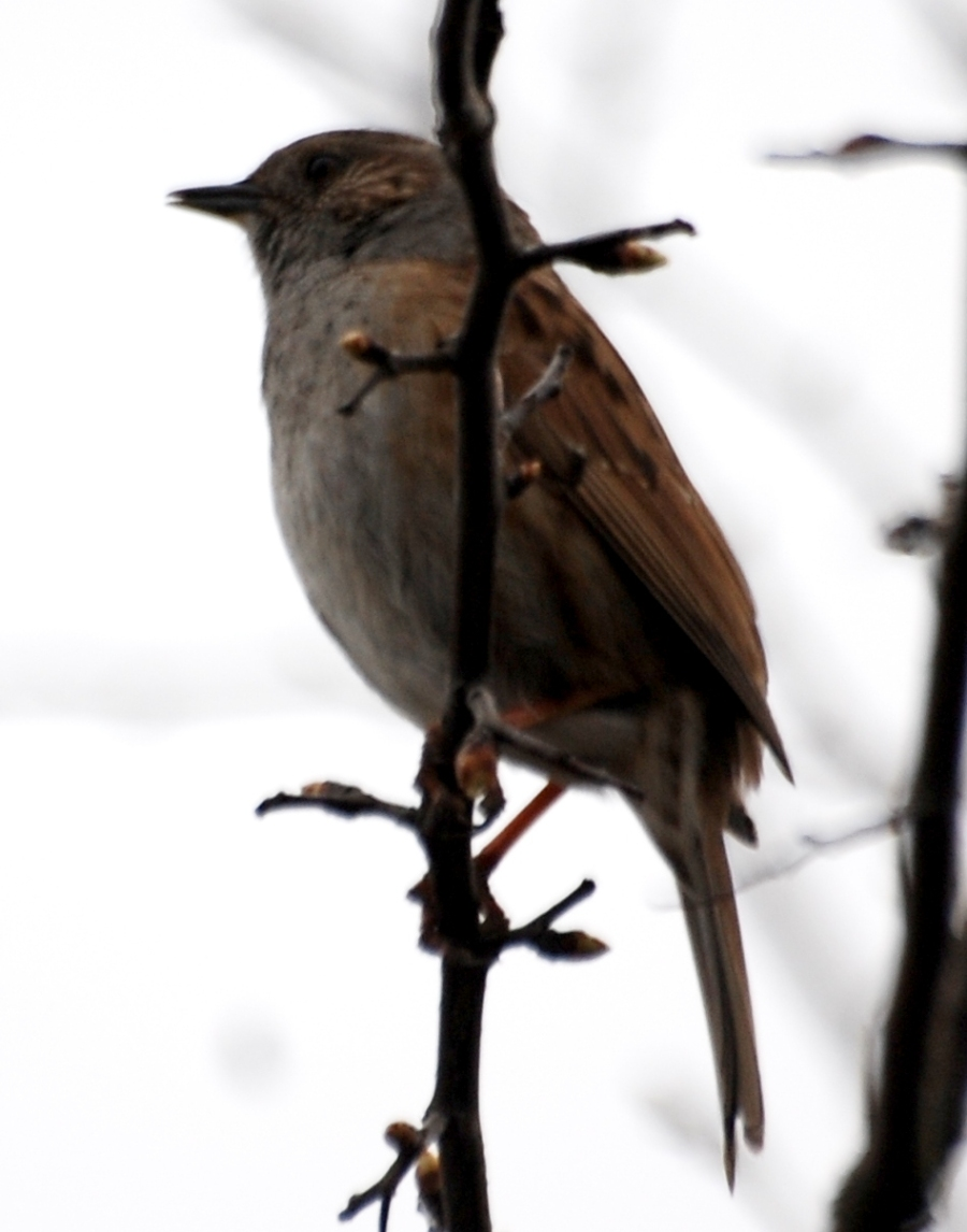 Sparrow: This little guy was singing as loud as any robin
