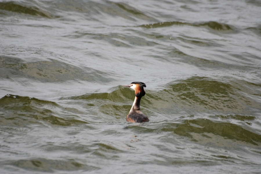 Great crested on the storm tossed pond