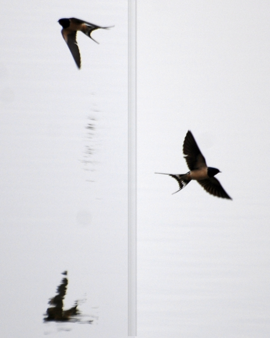 First swallows I've seen this year