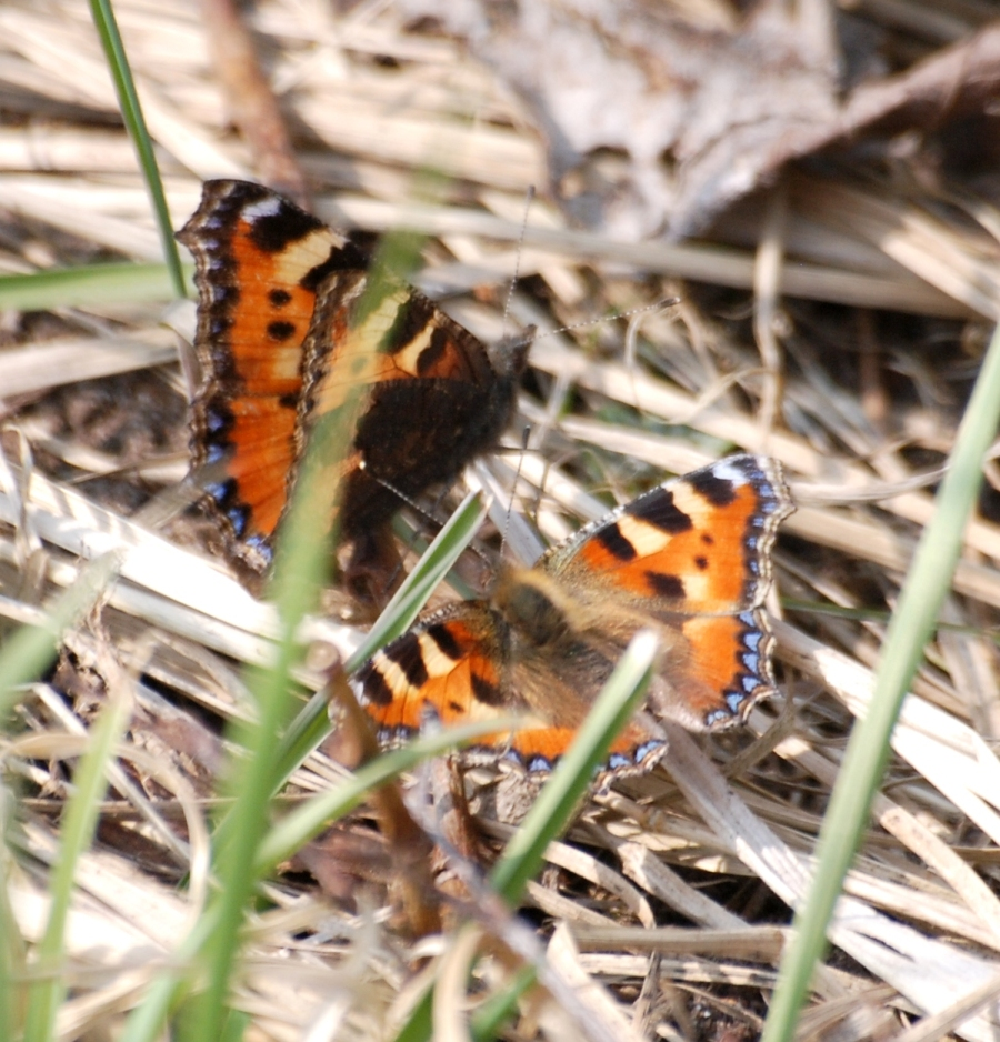 A brace of small tortoiseshells courting