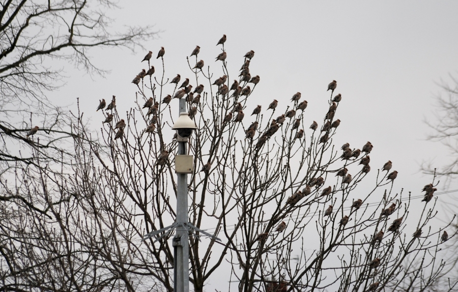 Waxwings flocking on the Priory shopping centre car park