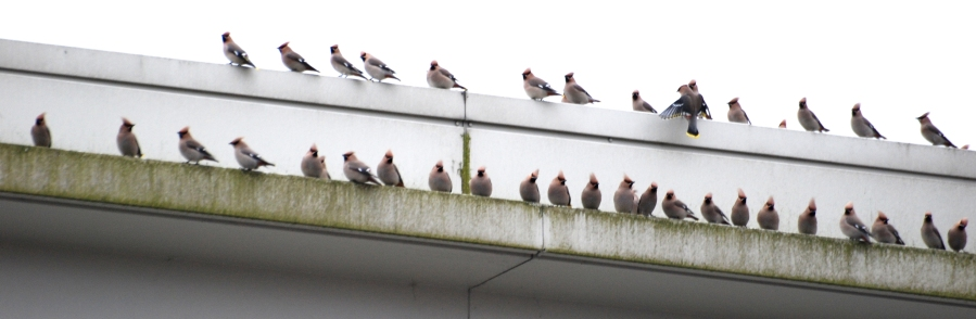 Waxwings on M&S roof