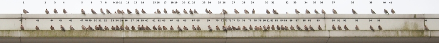 Waxwings counted