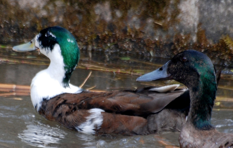 Consensus is that these are mallard/muscovy crosses