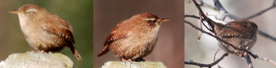 Wren: doesn't stay still for long so when it does ...