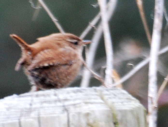 A wren - not easy to catch