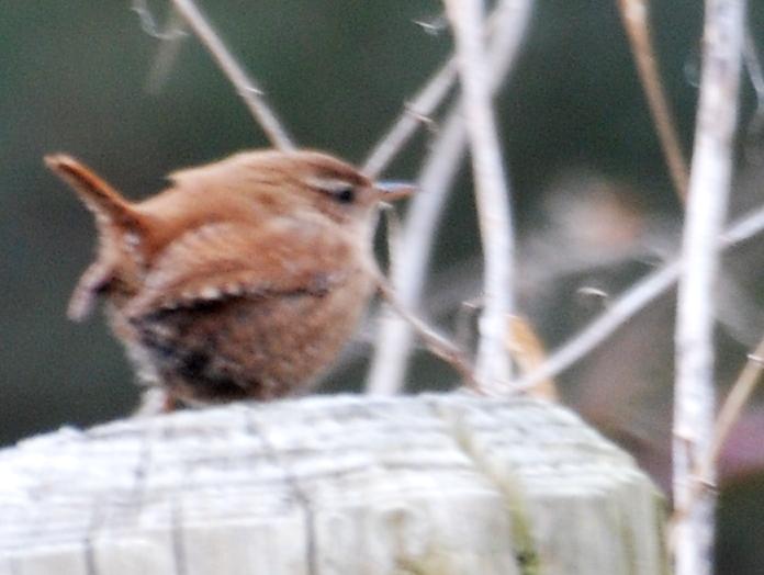 A wren - not easy to catch