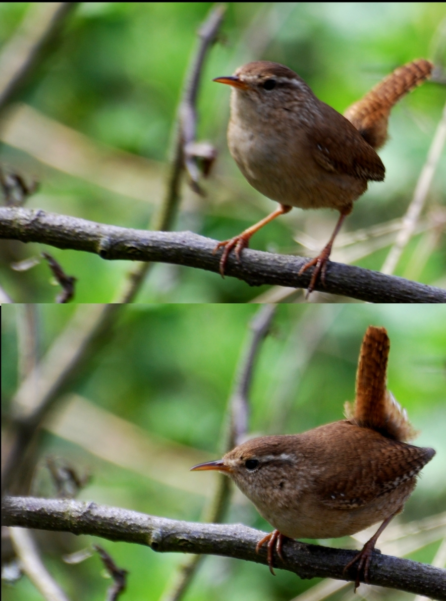 Two views of a wren