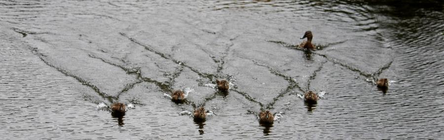 DucklingsAttack
