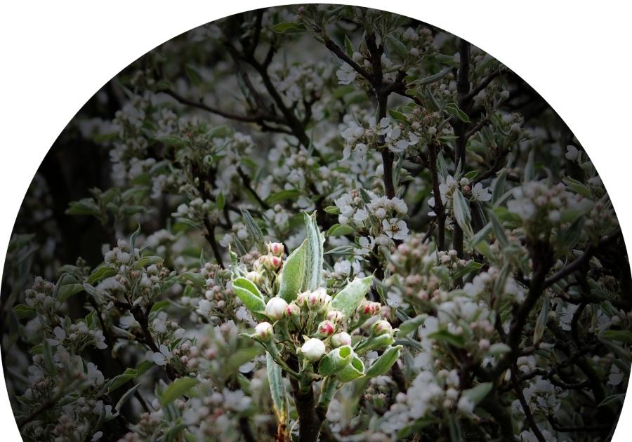 PearBlossom23