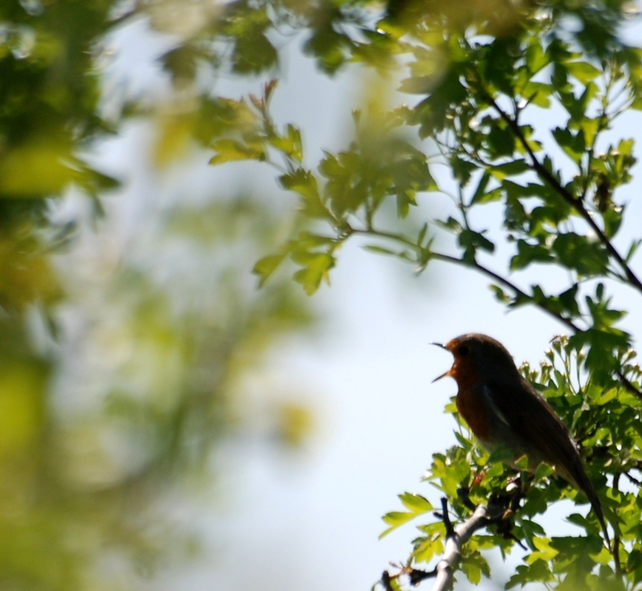 Robin 57