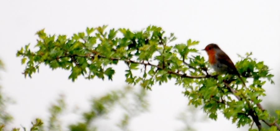 RobinHawthorn