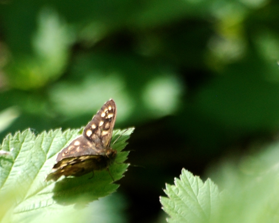 speckledWood