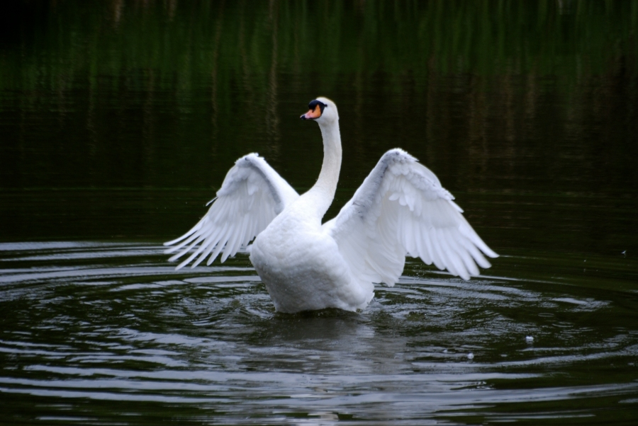 Swan flappin'