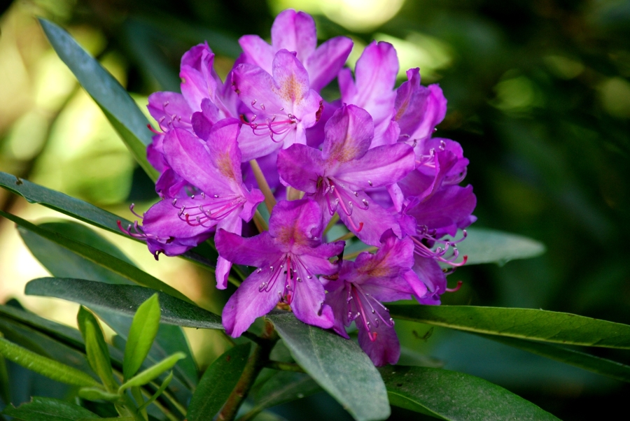 Clumber_0110Rhododendron