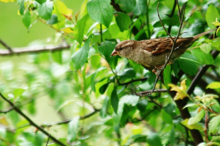 Sparrow hunting