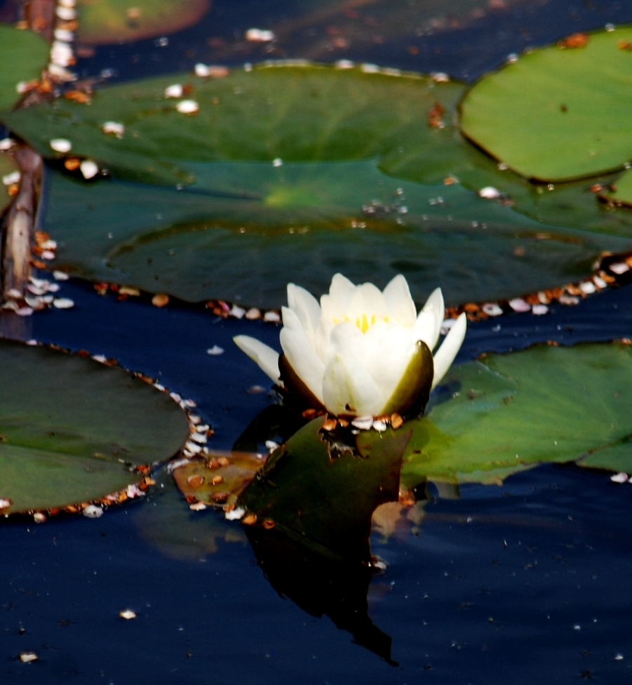 First flower on the lily patch on the pond.