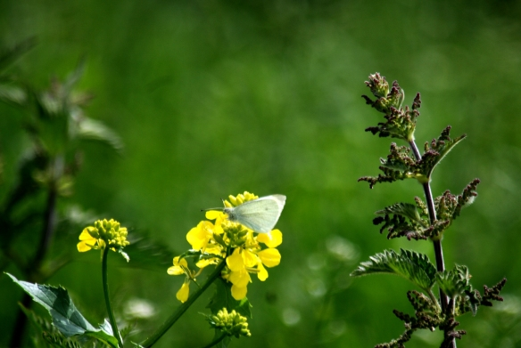 Small white butterfly on a rapeseed flower