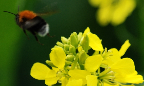A bee between visits to rapeseed