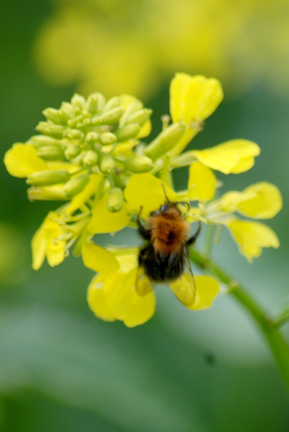 Bee at work on rapeseed
