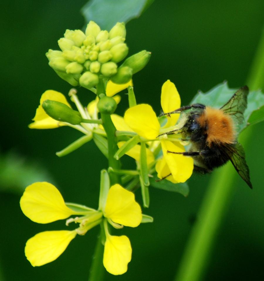 Bee on yellow rape flower