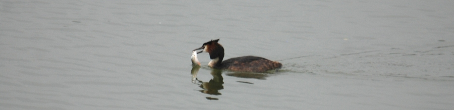 Grebe with a fish.