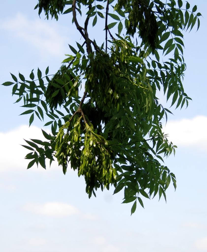 Embryo Ash trees