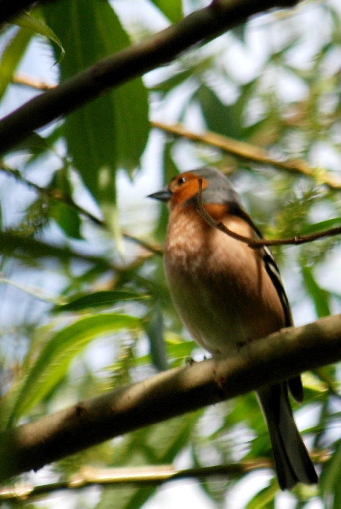 Chaffinch over the canal
