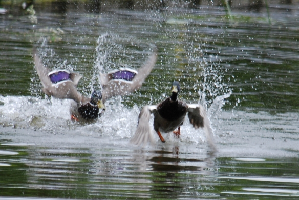 A couple of mallard males having a scrap