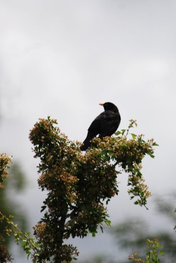 Blackbird on hawthorn