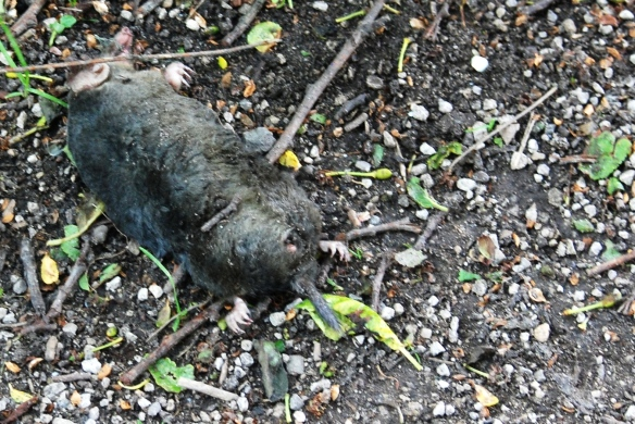 Sadly a dead mole on the path round the pond