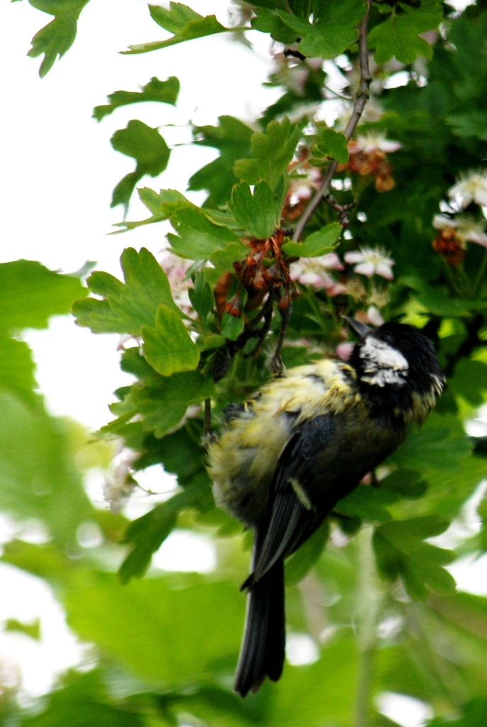 A damp tit swinging underneath some of last year's haws.