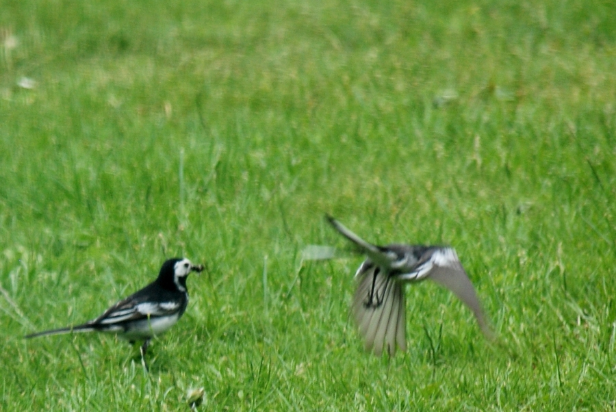 Two views of the same pied wagtail