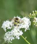 Hoverfly on mother-die