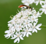 Beastly bug on cow parsley.