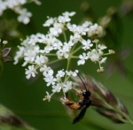 Another beastly bug on cow parsley.