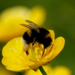 Tiny bee on buttercup.