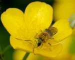 Bee buttercup