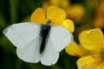 This time it's a small white on a buttercup