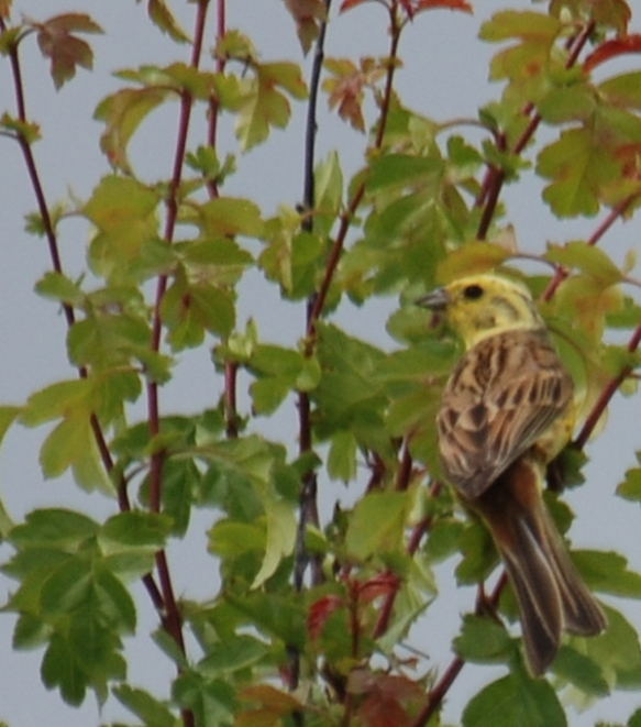 Yellowhammer near Brancliffe