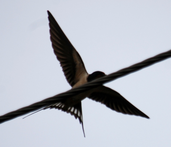 Swallow - the wire's in the way but a must show pic