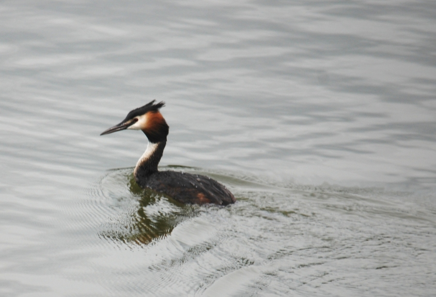 And a final grebe on t'pond.