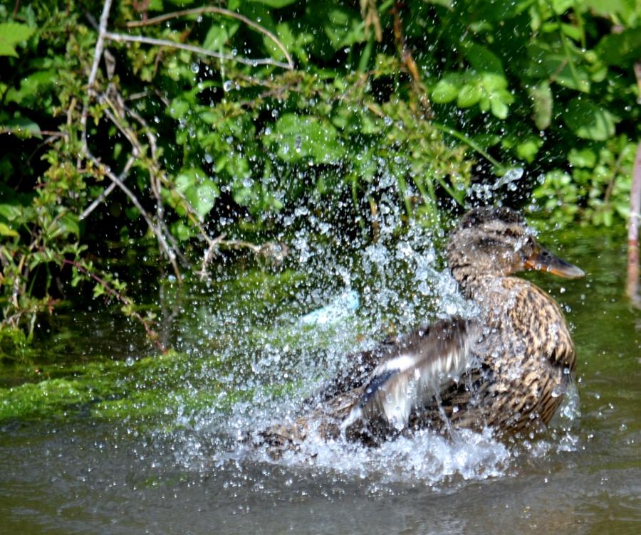 Mallard bathing