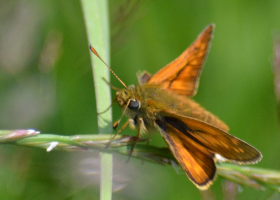 Small skipper butterfly.