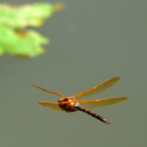 … Dragonfly …