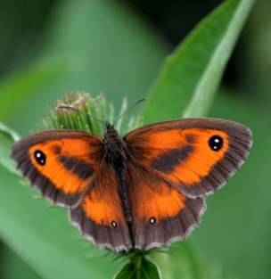 Male gatekeeper ...